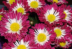Közepes virágú cserepesek