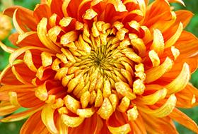 Nagyvirágú cserepesek