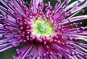 Növényházi vágófajták