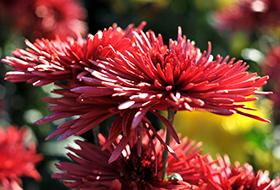 Csokros virágzatú, alacsony fajták