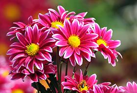 Növényházi, csokros virágzatú, magas fajták