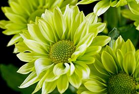 Margaréta virágúak