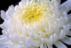 Közepes virágú gömbök