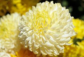 Szabadföldi gömb virágúak