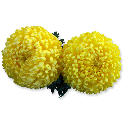 Snowdon Yellow - A11