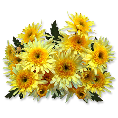 Eleonora Yellow ® - B9