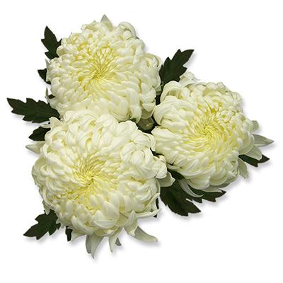 Candela Blanc ® - D18